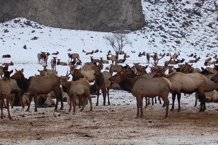 Elk photos January 2013.